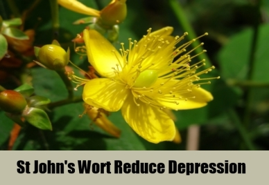 Website St-Johns-Wort-Reduce-Depression